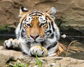 Tiger bathing in a pond amur enjoying cool dip on hot summer day Stock Photo