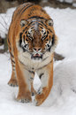 Tiger beautiful wild siberian on snow Royalty Free Stock Images