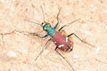 Tiger beetle Royalty Free Stock Photography