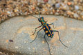 Tiger beetle on ground close up Royalty Free Stock Photo