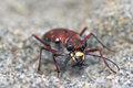 Tiger beetle look Stock Photo