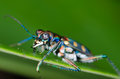 Tiger beetle macro of on green leaf at night Royalty Free Stock Photos