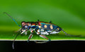 Tiger beetle macro of on green leaf at night Stock Photo