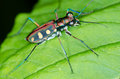 Tiger beetle macro of on green leaf at night Royalty Free Stock Images