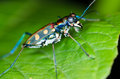 Tiger beetle macro of on green leaf at night Royalty Free Stock Photography