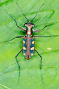 Tiger beetle macro of on green leaf at night view from top Royalty Free Stock Photos