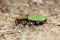 Tiger beetle on spring meadow macro Royalty Free Stock Photos