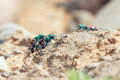 Tiger beetles Royalty Free Stock Photo