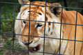 Tiger behind fence rescued staring out from cage at renaissance festival south florida Stock Photos