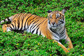 Tiger big sitting on grass Stock Images