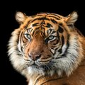 Tiger with a black background Royalty Free Stock Photo