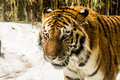 Tiger at bronx zoo winter Royalty Free Stock Image