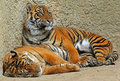 Tiger brothers reclining and relaxing in the sun Stock Images