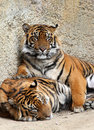 Tiger brothers reclining and relaxing in the sun Stock Photo