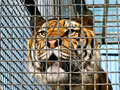 Tiger in cage Royalty Free Stock Images