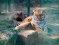 Tiger in a cage at the zoo Royalty Free Stock Photo