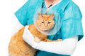 Tiger cat with neck brace red at the veterinary a Royalty Free Stock Photo