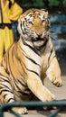 Tiger of circus