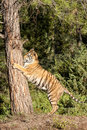 Tiger Climbing Tree Stock Photo