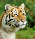 Tiger close up beautiful in grass Stock Photo