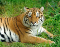 Tiger close up beautiful in grass Royalty Free Stock Photo