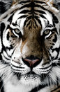 Tiger close-up of face Royalty Free Stock Photo