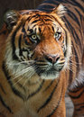 Tiger close up looking fierce to the right Stock Photography