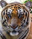 Tiger close up tigers in summer day Royalty Free Stock Images