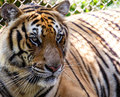 Tiger close up tigers in summer day Stock Photo