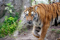 Tiger Coming at You Royalty Free Stock Image