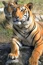 Tiger couple Royalty Free Stock Photo