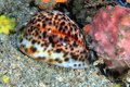 Tiger cowrie cypraea tigris on the sea floor Stock Photo