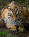 Tiger - Crouching Royalty Free Stock Photo