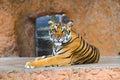 Tiger cruel tiger closeup Royalty Free Stock Image