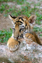 Tiger cub Royalty Free Stock Image