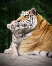 Tiger with a cub Royalty Free Stock Photo