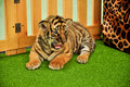 Tiger cub baby bengal has taken care by the zookeeper Royalty Free Stock Photography