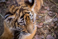 Tiger cub cute siberian panthera tigris altaica Stock Images