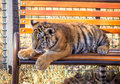 Tiger cub cute siberian panthera tigris altaica Royalty Free Stock Photography