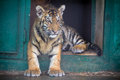 Tiger cub cute siberian panthera tigris altaica Stock Photo