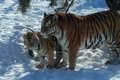 Tiger and cub Royalty Free Stock Photo
