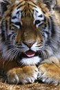 Tiger cub sticking tongue out Stock Image