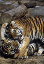 Tiger cubs playing Royalty Free Stock Photo