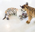 Tiger cubs playing six month old Stock Photo