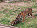 Tiger cubs are playing in a zoo Royalty Free Stock Photo
