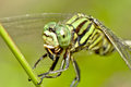Tiger dragonfly chewing insect close up on green branch Royalty Free Stock Photo