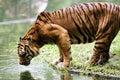 Tiger Drinking Water Royalty Free Stock Photos