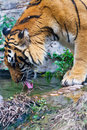 Tiger drinking water Royalty Free Stock Photo