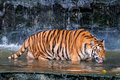 Tiger drinking in the water orange and black striped bengal Stock Photos