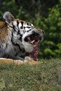 Tiger eating his dinner Royalty Free Stock Photos